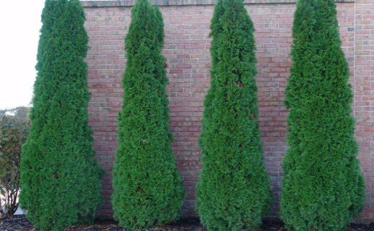 Emerald Arborvitae Privacy Landscaping