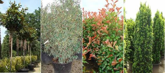 Evergreen Screening Plants Block Unsightly Views London Nursery