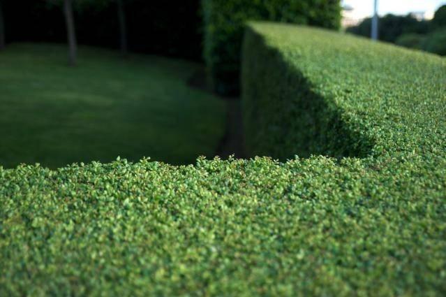 Evergreens Privacy Screens