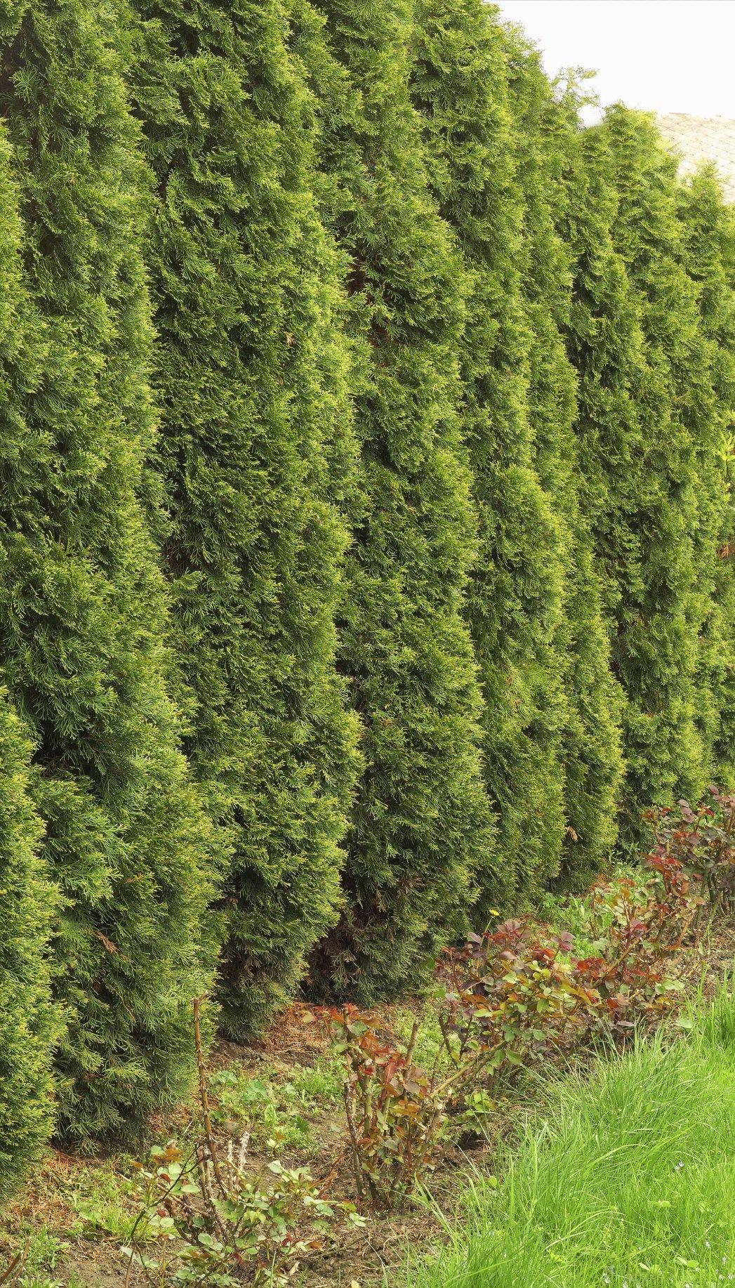Evergreens Quick Growth Learn Evergreen Shrubs