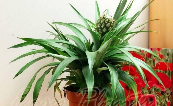 Exotic Garden Tropical Mini Pineapple Fruited Indoor Plant Pot