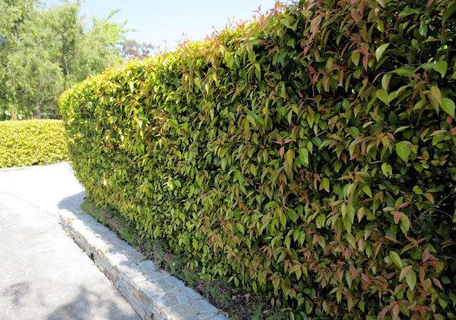 Fast Growing Privacy Hedges Plants
