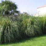 Fast Growing Privacy Shrubs Tall Imgarcade