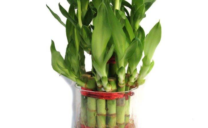 Feng Shui Lucky Bamboo Price Comparison