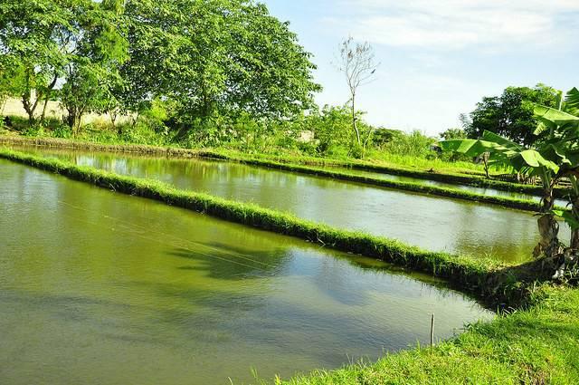 Fish Pond Bay Laguna Philippines Aisa Santos Worldfish