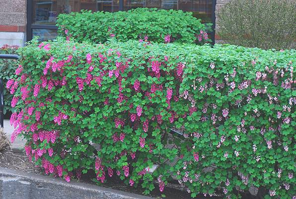 Flowering Privacy Hedges Hedging Plants