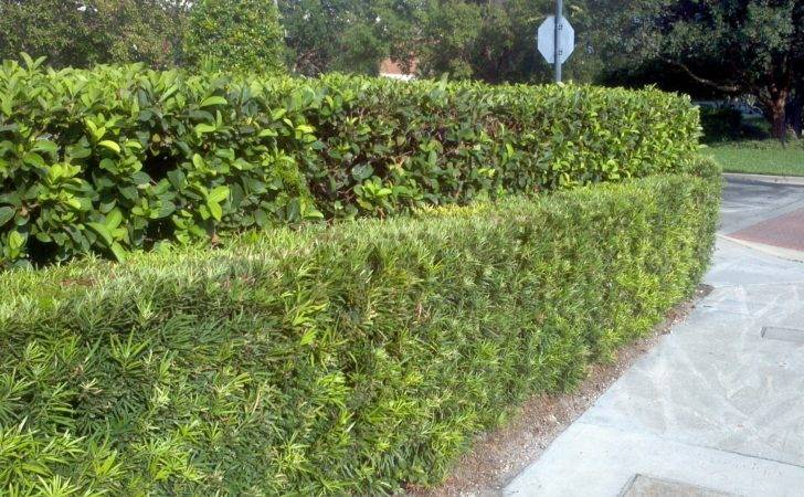 Flowering Privacy Hedges Increase