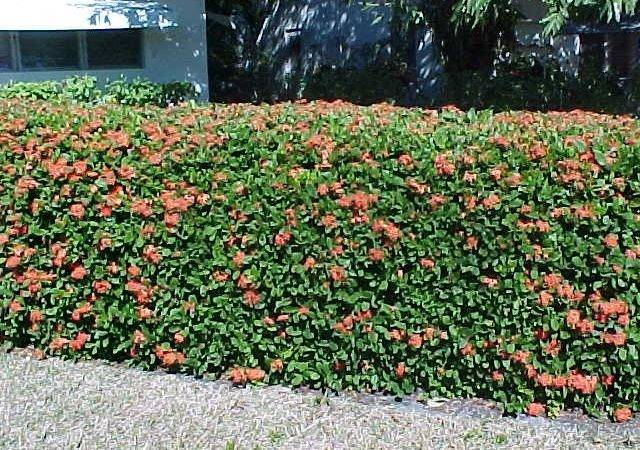 Flowering Privacy Hedges Perfect Plants Watters