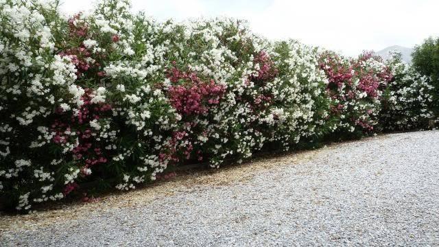 Flowering Privacy Hedges Screening Shrubs San