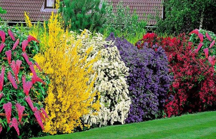 Flowering Shrubs Hedge Plants Buy Order Yours Now