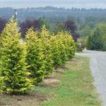 Gold Rider Cypress Our Snohomish Tree Farm Love Color They