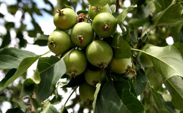 Green Apple Fruit Tree Tiny Apples