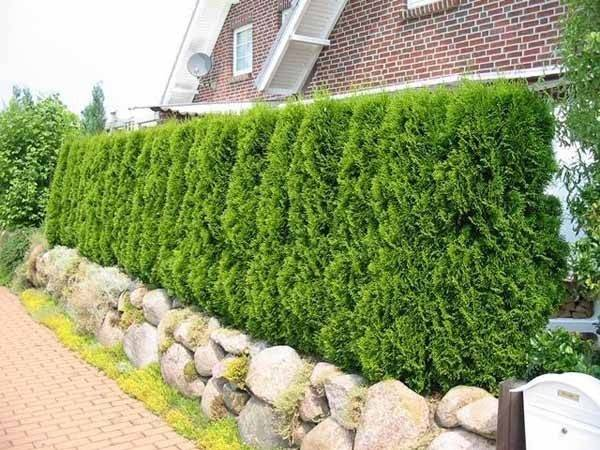 Green Fence Stone Wall Hedgerow Created Evergreen Plants
