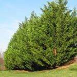 Groshs Lawn Service Leyland Cypress Tree Pruning Hagerstown