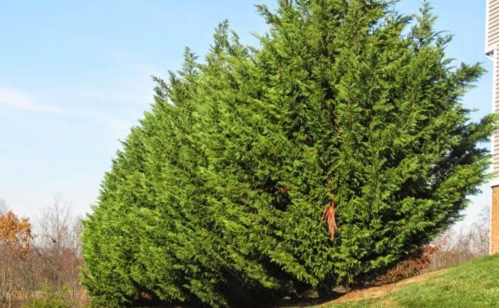 Groshs Lawn Service Leyland Cypress Tree Pruning Hagerstown