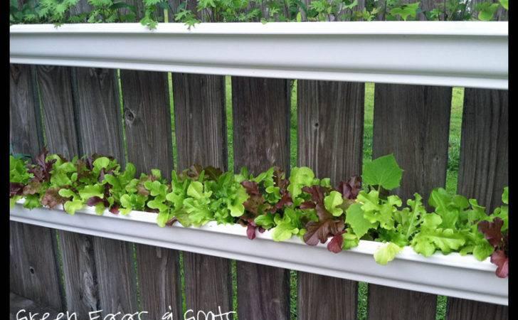 Grow Lettuce Gutter Gardens