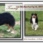 Has Been Fasted Flyball Australian Shepherd Last Years
