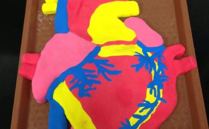Heart Human Project Models Model Hearts