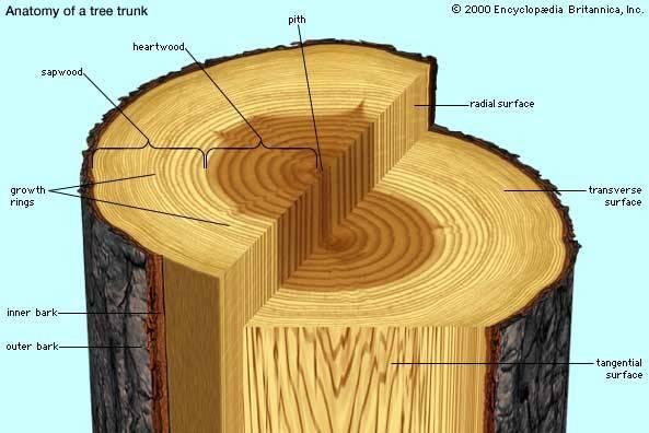 Heartwood Plant Anatomy Britannica