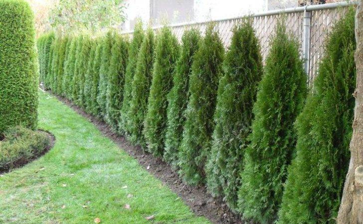 Hedge Fence Gardening Pinterest Chain Links Search Plants