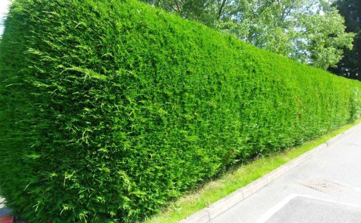 Hedging Plants Hedge Conifers Laurel Yew Privet Beech