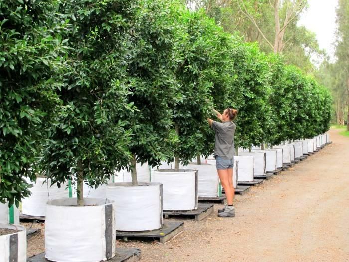 Hills Fig Tree Hedge Trees Impact