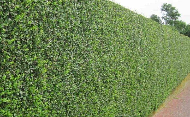 Home Hedge Plants Privet