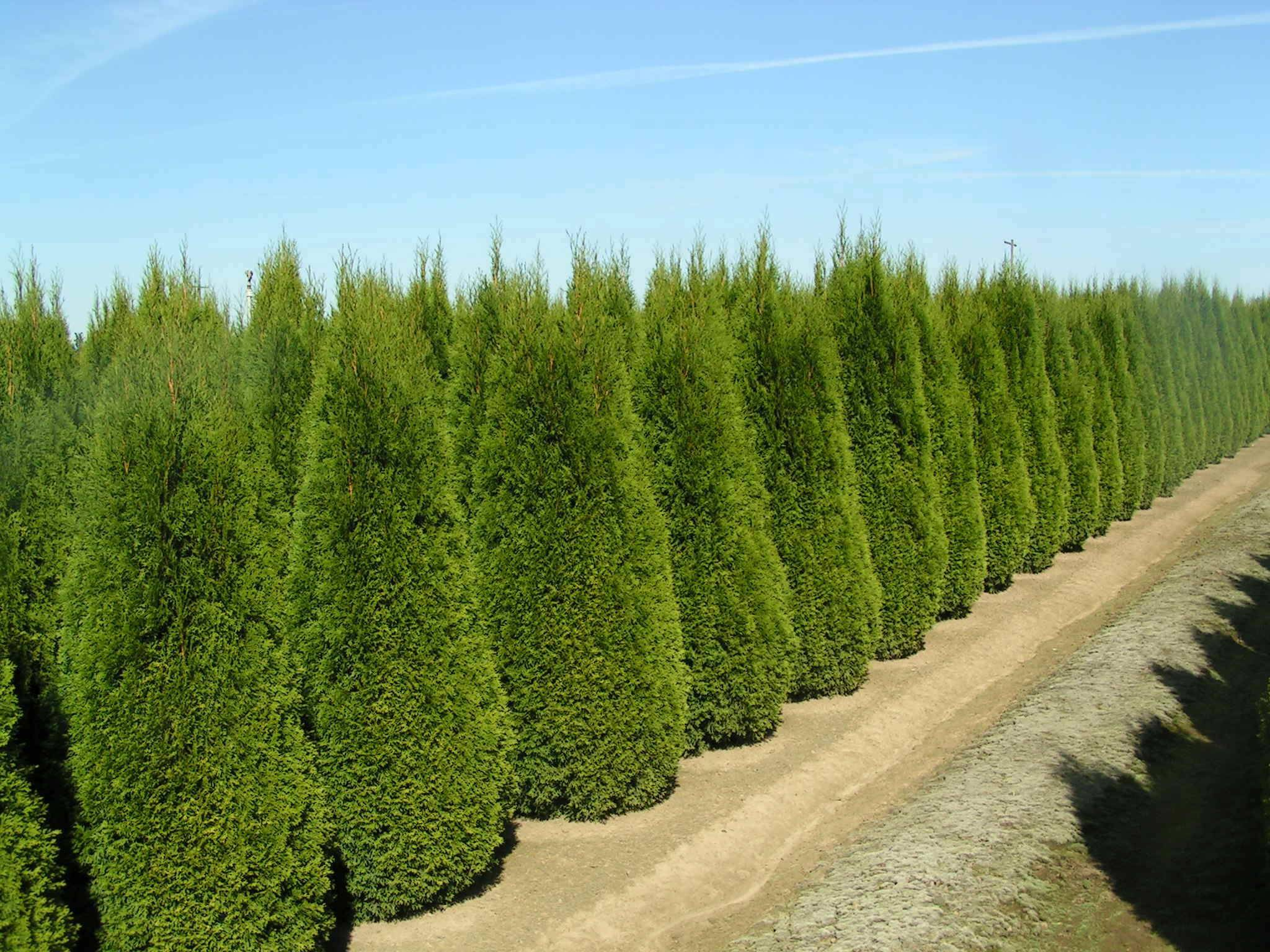 Home Instant Privacy Trees Ornamental Landscape