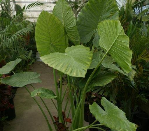 House Plants Large Green Leaves Arts