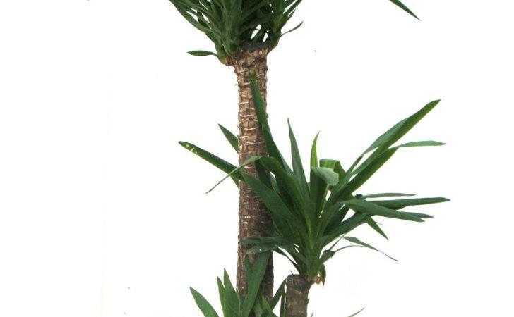 Indoor Plants Additionally Fiddle Leaf Fig Plant