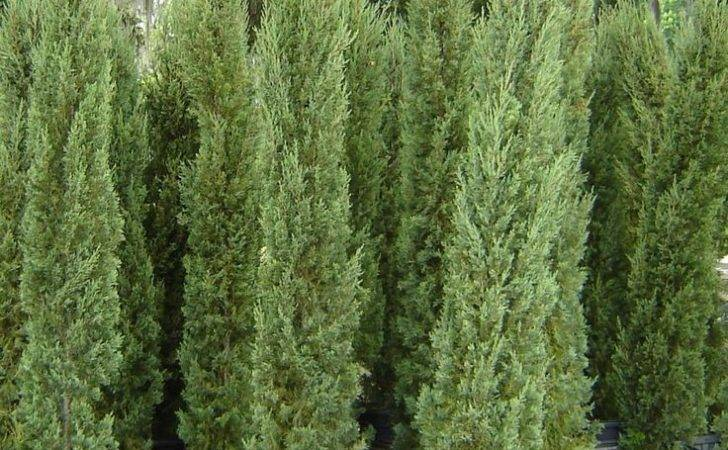 Italian Cypress Trees Absolutely Love These They Get