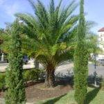 Italian Cypress Trees Sale Find Nursery Buy One