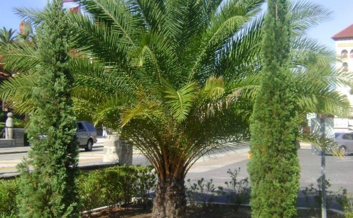 Italian Cypress Trees Sale Find Nursery Buy One