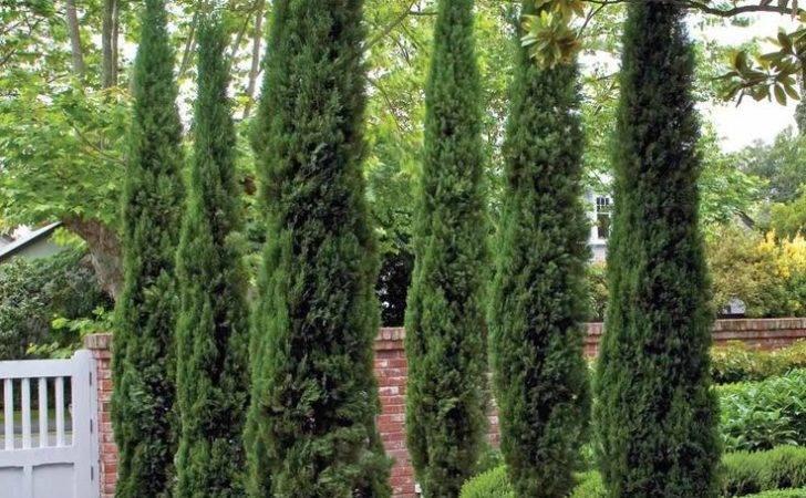 Landscape Plant Ideas Pinterest Italian Cypress Trees