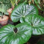 Large Indoor Plants Low Light Moreover Leaf House Plant