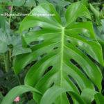 Large Leaf House Plant Identification Addition Sycamore Tree Leaves