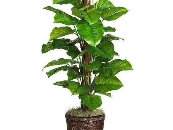 Large Leaf House Plant Identification Pinterest