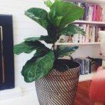 Large Leaf House Plants Favorite Indoor Houseplants Love