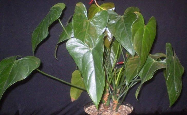 Large Leaf House Plants However Big