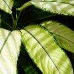 Large Leaf House Plants Identification Searching Nature Yangon