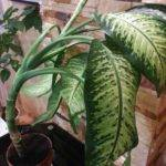 Large Leaf House Plants Identification