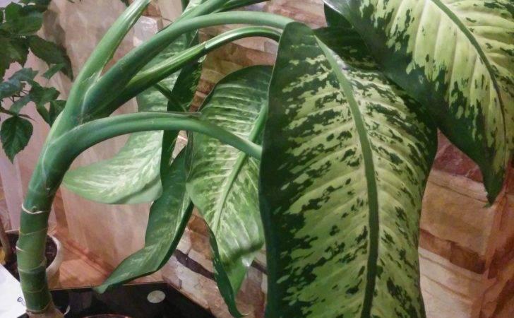 Large Leaf House Plants Identification