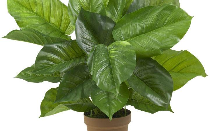 Large Leaf House Plants Inch