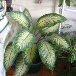 Large Leaf House Plants Leaves