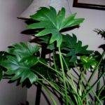 Large Leaf House Plants Love Split Leaves