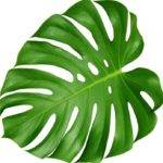 Large Leaf House Plants Plant