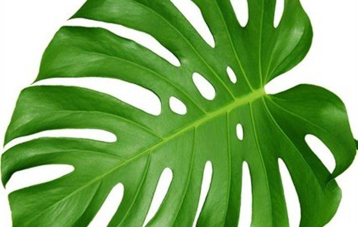 Large Leaf House Plants Plant