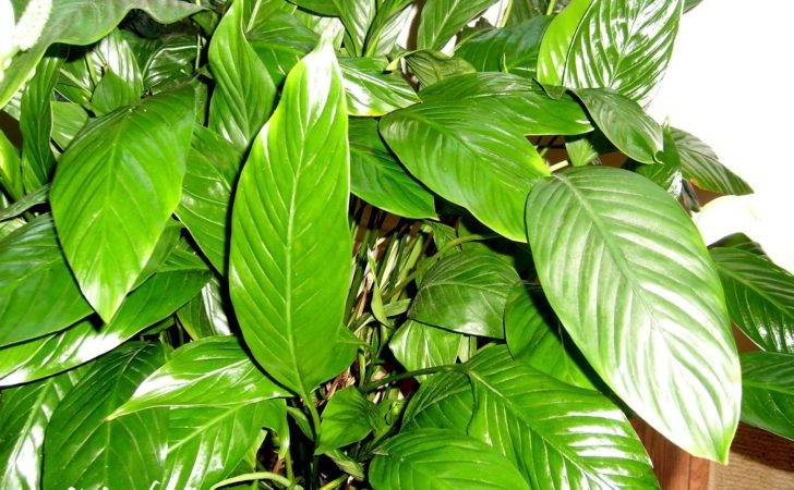 Large Leaf House Plants Shine