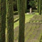 Lavender Beds Punctuated Cypress Trees Provence Garden