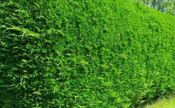 Leyland Cypress Hedge Related Keywords Suggestions